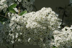 Prunus domestica 02