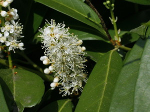 Prunus laurocerasus - navadni lovorikovec 04