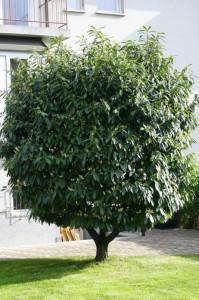 Prunus laurocerasus - navadni lovorikovec 06