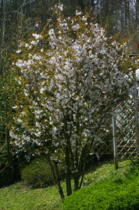 Prunus sargentii 'Accolade' - japonska češnja 01