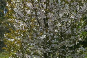 Prunus sargentii 'Accolade' - japonska češnja 02