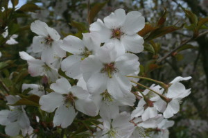 Prunus sargentii 'Accolade' - japonska češnja 03