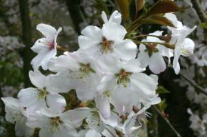 Prunus sargentii 'Accolade' - japonska češnja 04