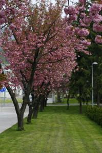 Prunus serrulata 'Kanzan' - japonska češnja 03