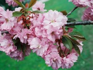 Prunus serrulata 'Kanzan' - japonska češnja 07
