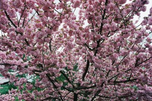 Prunus serrulata 'Kanzan' - japonska češnja 08