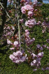 Prunus serrulata 'Kiku Shidare Sakura' - povešava japonska češnja 01