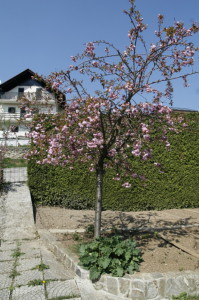 Prunus serrulata 'Kiku Shidare Sakura' - povešava japonska češnja 02