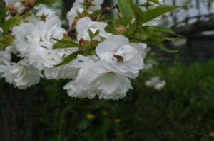 Prunus serrulata 'Shimidsu Sakura' - japonska češnja bela 02
