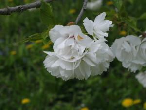 Prunus serrulata 'Shimidsu Sakura' - japonska češnja bela 03