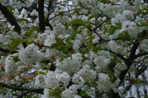 Prunus serrulata 'Shimidsu Sakura' - japonska češnja bela 04
