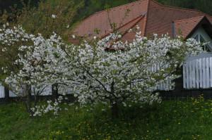 Prunus serrulata 'Shimidsu Sakura' - japonska češnja bela 05