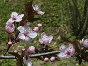 Prunus x cistena - rdečelistna sliva 01