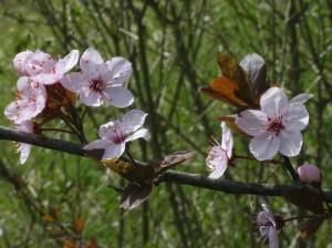 Prunus x cistena - rdečelistna sliva 02