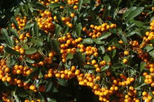 Pyracantha coccinea 'Orange Glow' - ognjeni trn 01