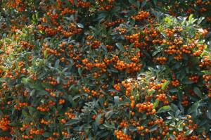 Pyracantha coccinea 'Orange Glow' - ognjeni trn 08