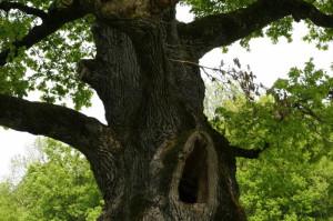 Quercus robur - dob 03