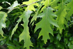 Quercus rubra - rdeči hrast 01