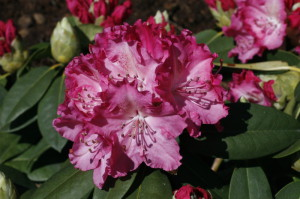 Rhododendron sp. - sleč 02