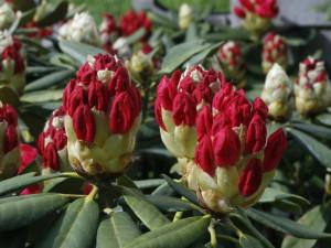 Rhododendron sp. - sleč 04