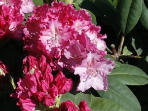 Rhododendron sp. - sleč 07