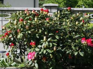 Rhododendron sp. - sleč 08