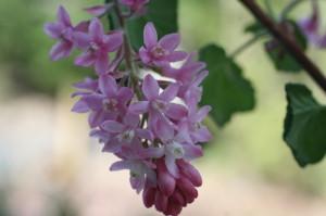 Ribes sanguineum 'Atropurpureum' - krvavordeče grozdičevje 02