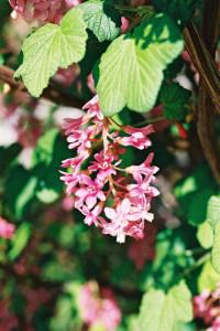 Ribes sanguineum 'Atropurpureum' - krvavordeče grozdičevje 03