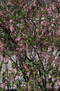 Ribes sanguineum 'Atropurpureum' - krvavordeče grozdičevje 04