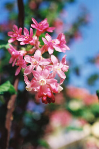 Ribes sanguineum 'Atropurpureum' - krvavordeče grozdičevje 05