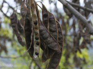 Robinia pseudoacacia - akacija 01