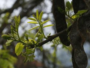Robinia pseudoacacia - akacija 02