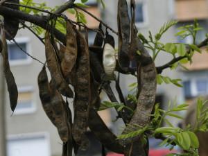 Robinia pseudoacacia - akacija 03