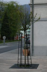 Robinia pseudoaccacia 'Umbralucifera' - kroglasta akacija 01