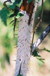 Rubus thibetanus 'Silver Fern' - tibetanska robida 01
