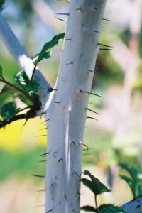 Rubus thibetanus 'Silver Fern' - tibetanska robida 02
