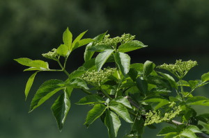 Sambucus nigra - črni bezeg 03