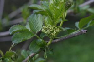 Sambucus nigra - črni bezeg 05