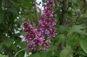 Syringa vulgaris - španski bezeg 01