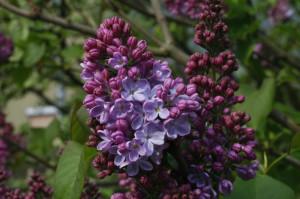 Syringa vulgaris - španski bezeg 02