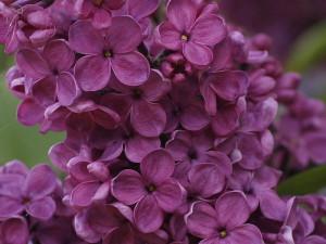 Syringa vulgaris - španski bezeg 03