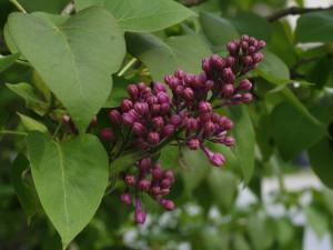 Syringa vulgaris - španski bezeg 05