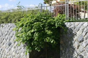 Ulmus glabra 'Pendula' - povešavi brest 04