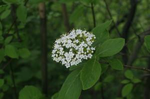 Viburnum lantana - brogovita 02