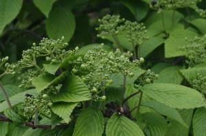 Viburnum plicatum 'Mariesii' - brogovita 01