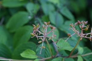 Viburnum plicatum 'Mariesii' - brogovita 03