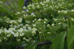 Viburnum plicatum 'Mariesii' - brogovita 04