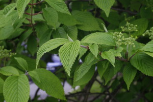 Viburnum plicatum 'Mariesii' - brogovita 06