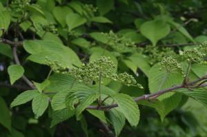 Viburnum plicatum 'Mariesii' - brogovita 07