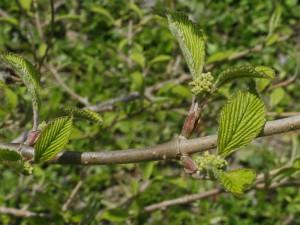 Viburnum plicatum 'Mariesii' - brogovita 08